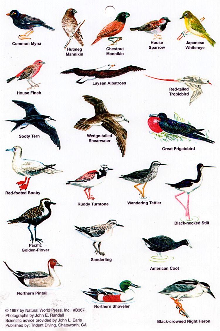 Hawaii bird chart Birds, Kauai travel, Backyard birds