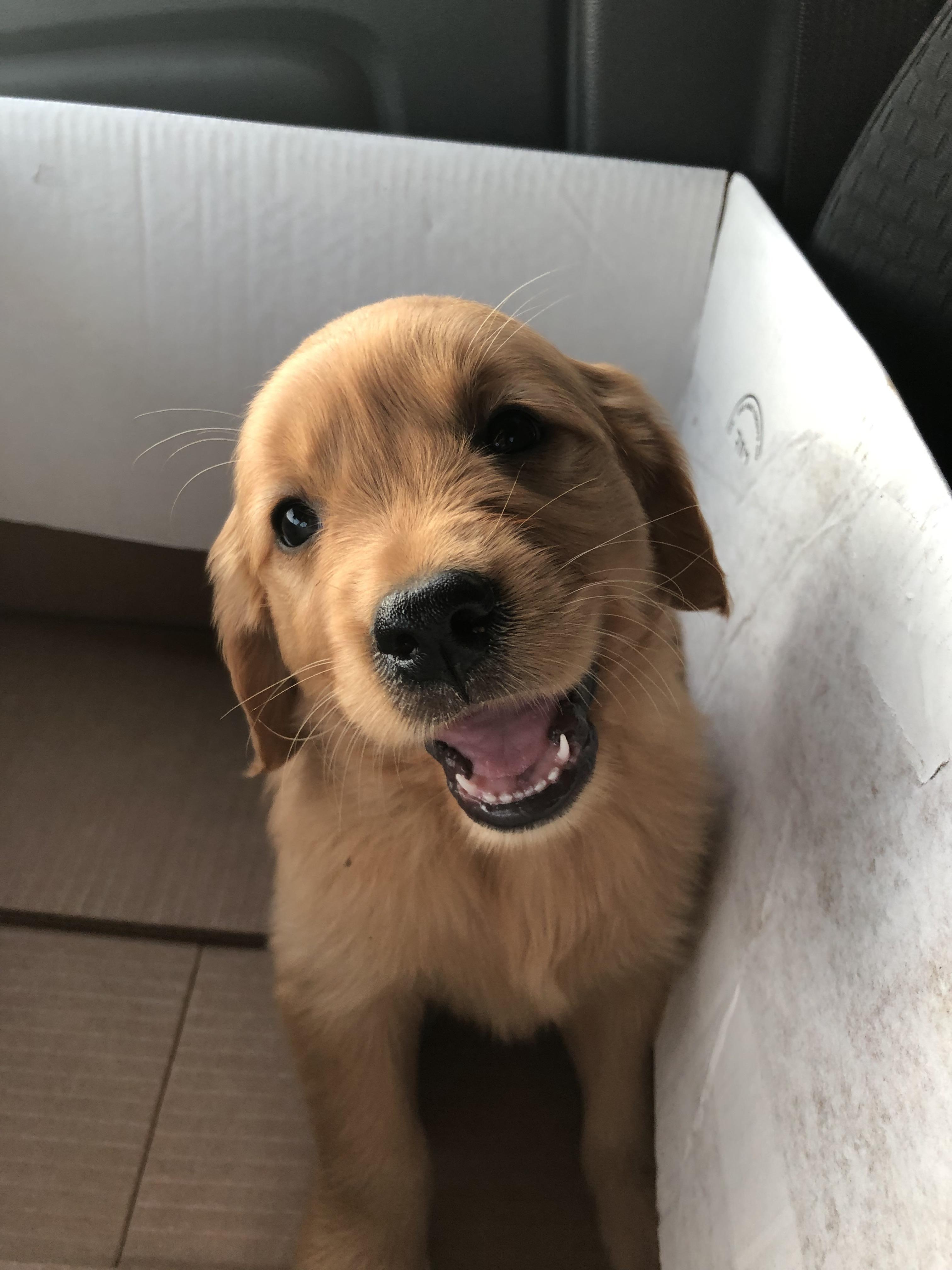 Meet Ellie 7 Weeks Old Today Cute Dogs Puppy Breeds Cute