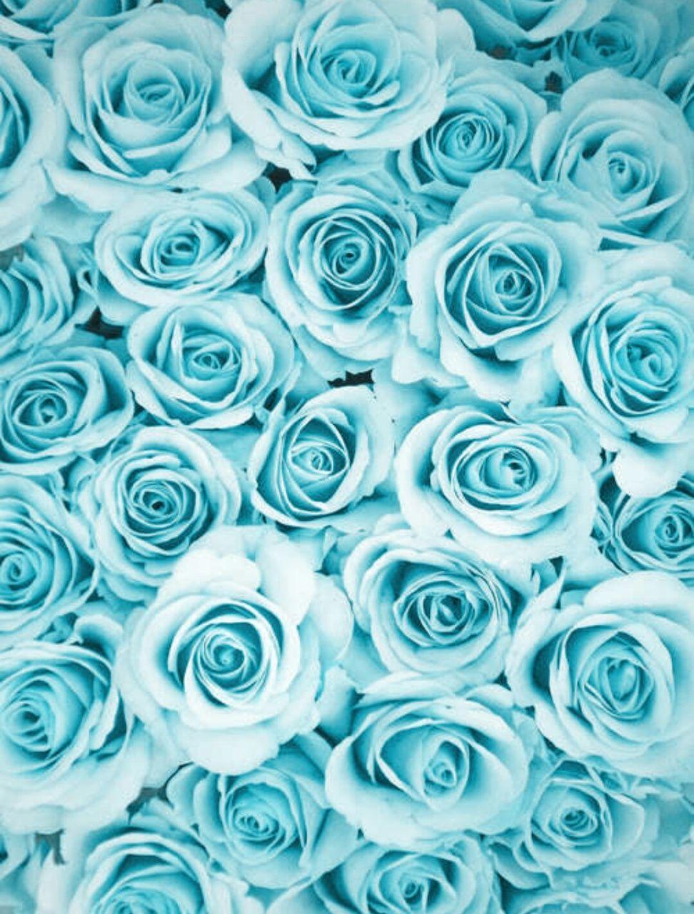 turquoise rose background wwwpixsharkcom images