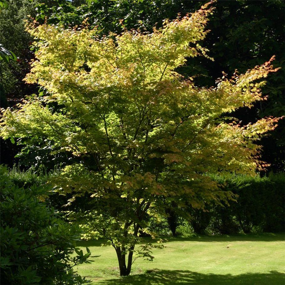 Buy acer palmatum 39 senkaki 39 online duchy nursery for Maple trees for small gardens