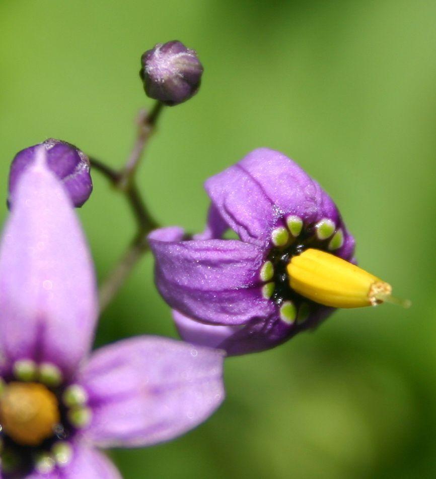 Fleur Sauvage Du Quebec La Morelle Douce Amere Est Une Sorte De