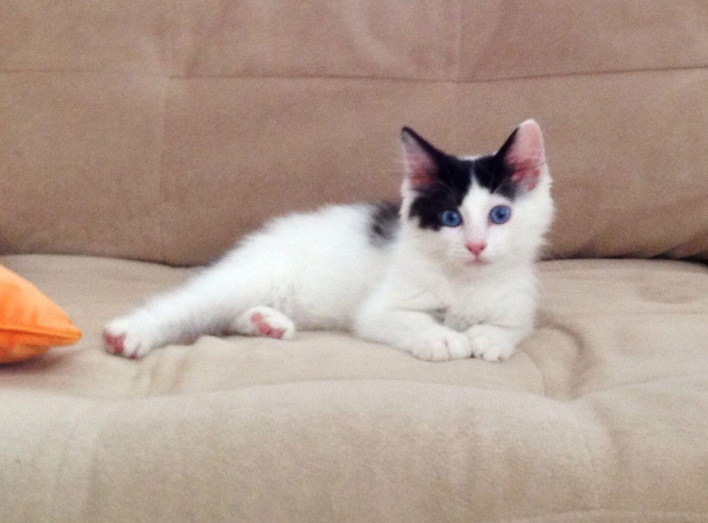My new Japanese Bobtail kitten Kurisumasu Bennie Blue by