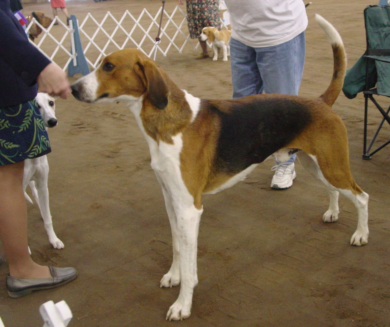American Foxhound Foxhound Dog American Foxhound The Fox And