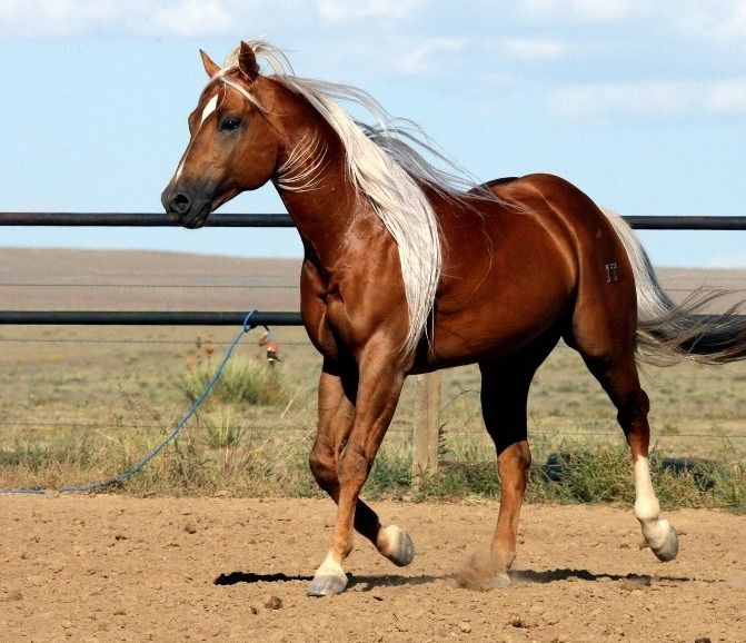 Such Gorgeous Colors And Softness: The Late Quarter Horse Stallion Firewater Fred Jones. He