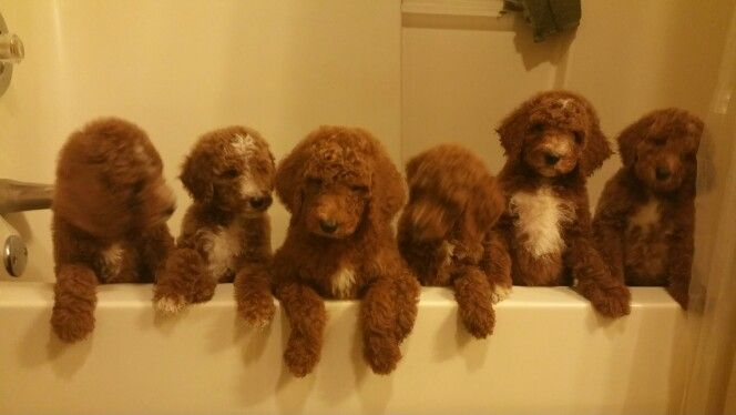 Ohio State Mansfield Animals Red Poodle Puppy Red Poodles