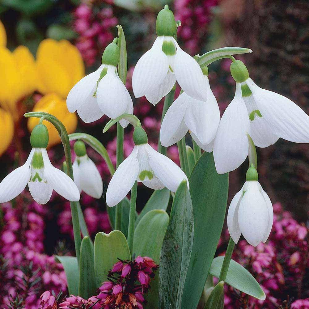Snowdrop Giant Galanthus Elwesiigreater Snowdrop Bulb