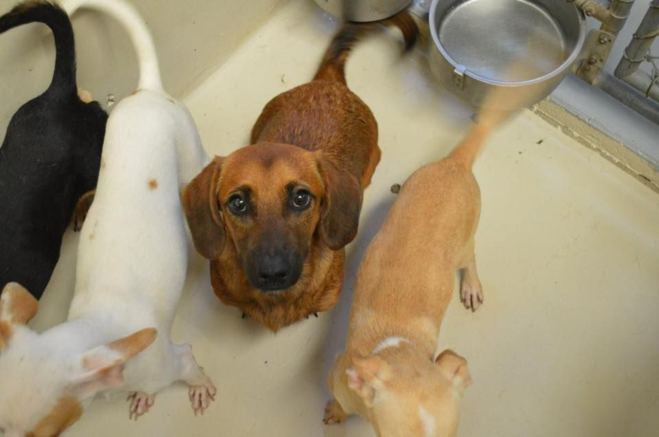 Pin By Rebecca Dimak On Doxie Rescue Texas Animals Animal