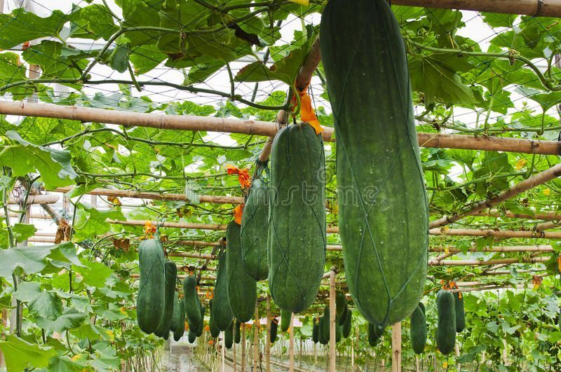 Winter melon. Many Elongated winter melon hanging above the ground , #ad, #Elongated, #melon, #Winter, #ground, #hanging #ad #wintermelon Winter melon. Many Elongated winter melon hanging above the ground , #ad, #Elongated, #melon, #Winter, #ground, #hanging #ad #wintermelon Winter melon. Many Elongated winter melon hanging above the ground , #ad, #Elongated, #melon, #Winter, #ground, #hanging #ad #wintermelon Winter melon. Many Elongated winter melon hanging above the ground , #ad, #Elongated, #wintermelon