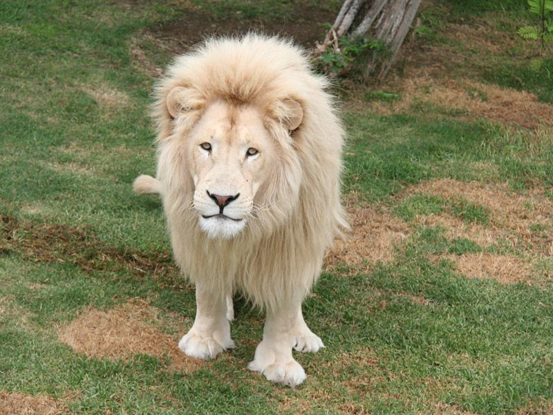 White Lion Animal