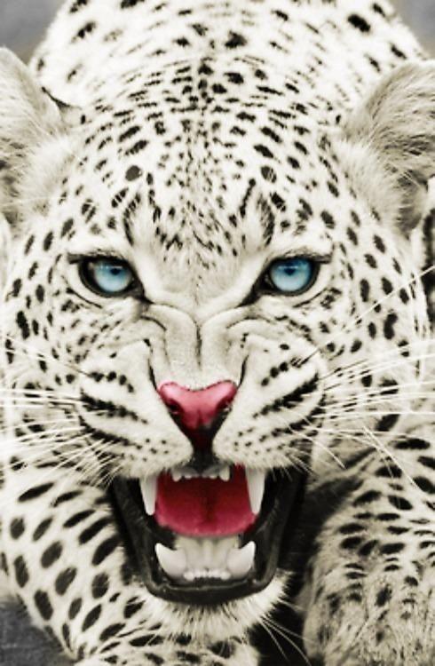 Snow Leopard Animals Wild Animals Wild Cats