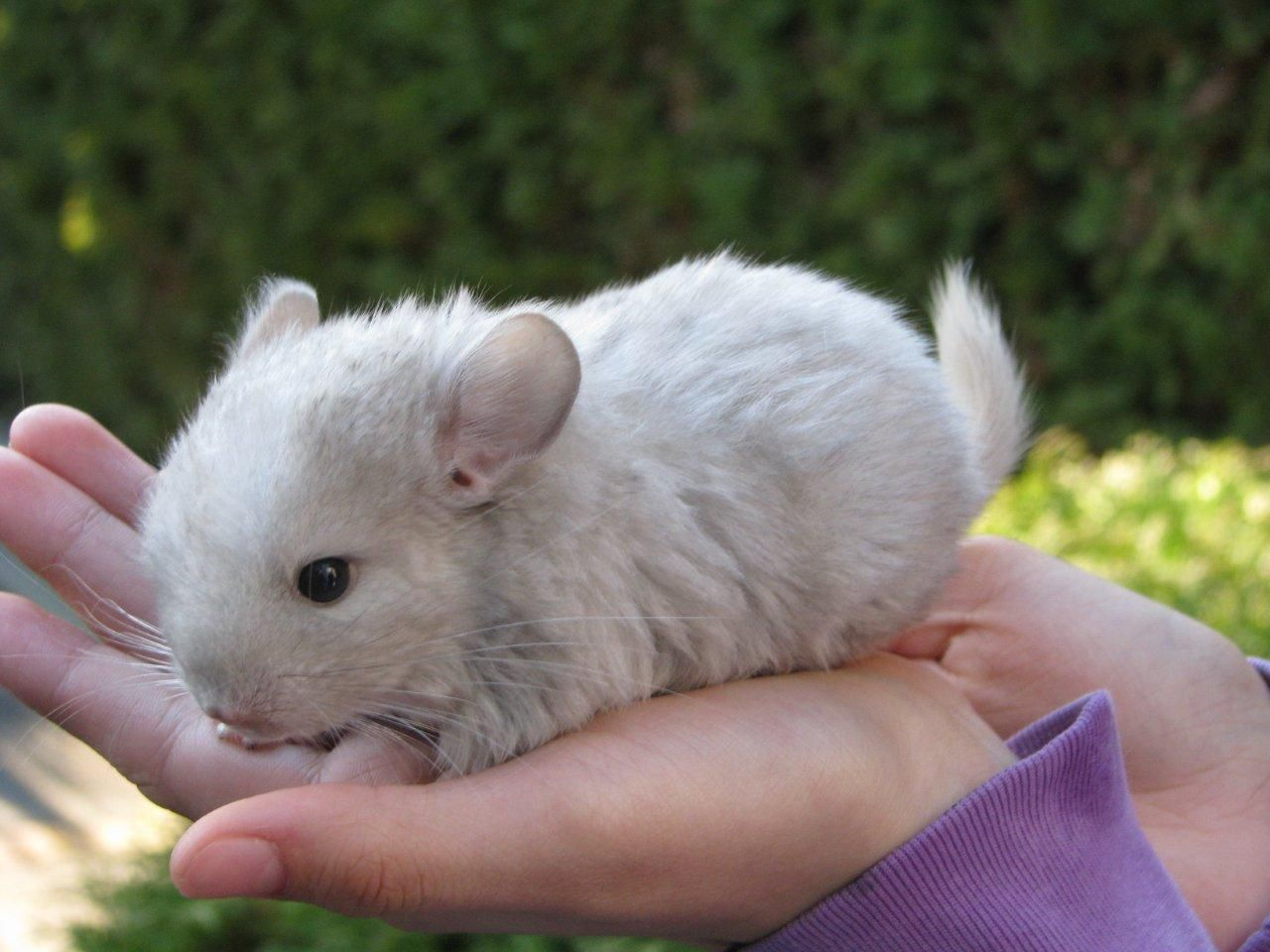 Super Adorable Baby Chinchilla 画像あり