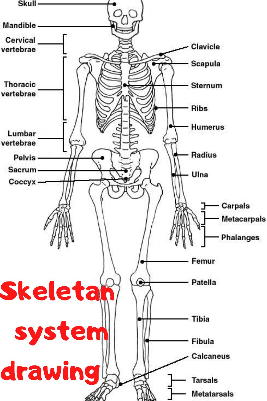 Skeletan System Drawing Human Skeletal System Skeletal System Anatomy Skeletal System Worksheet