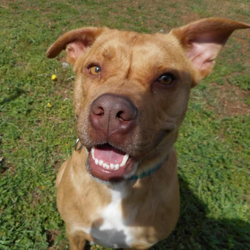 Adopt Rudy On Pitbull Terrier Adoption Animal Rescue