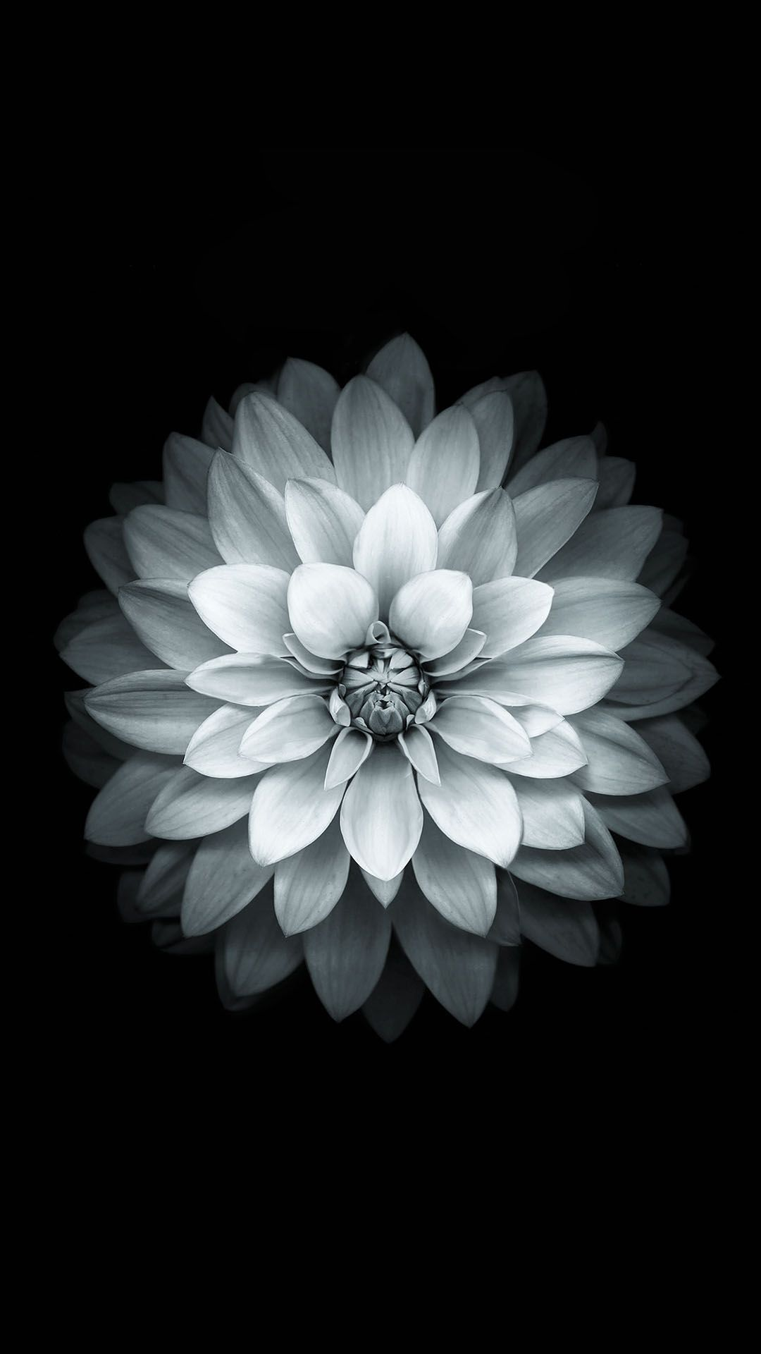 Download Black White Apple Lotus Flower Android Wallpaper Galaxies
