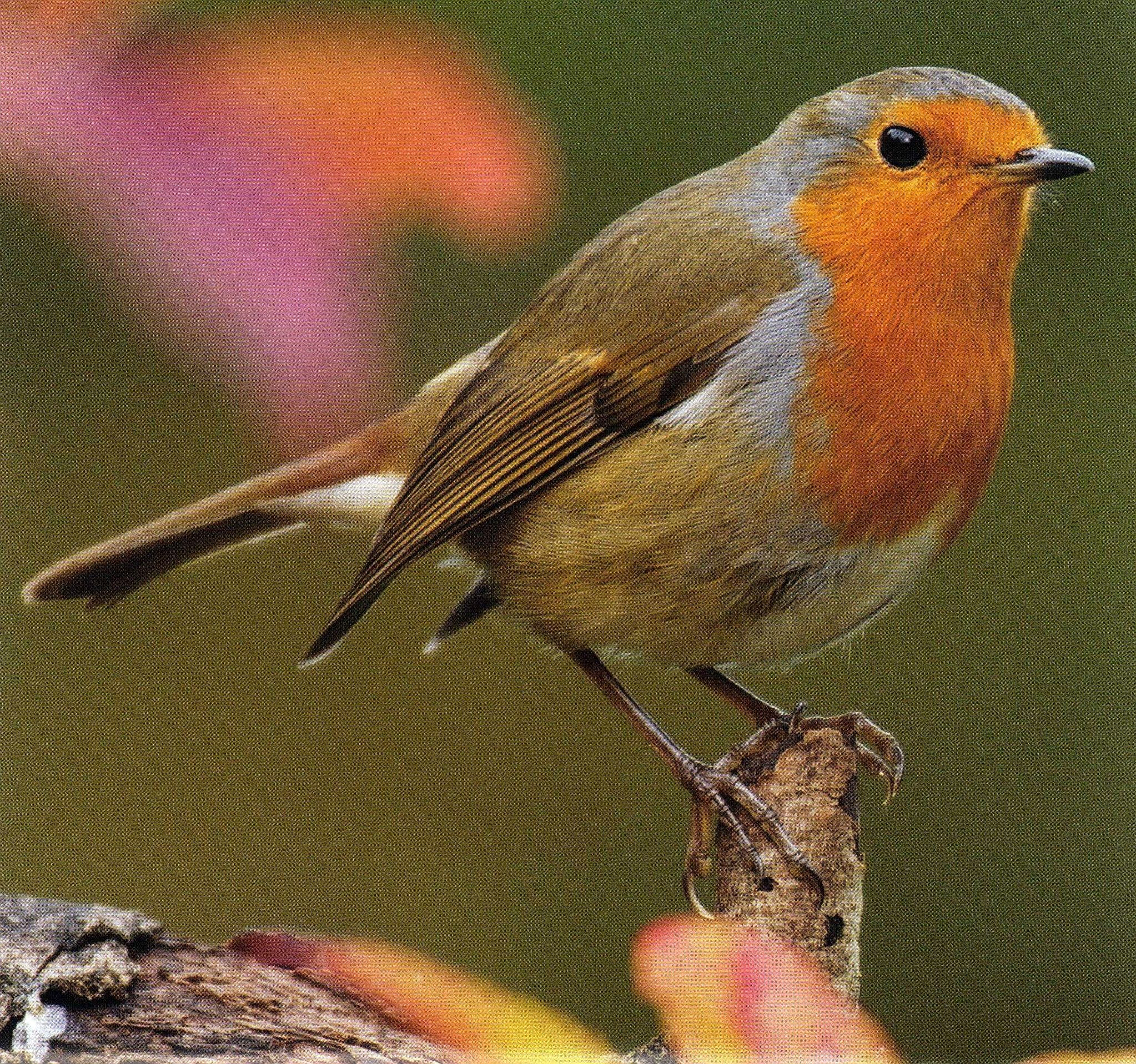 Indian Robin Bird Food