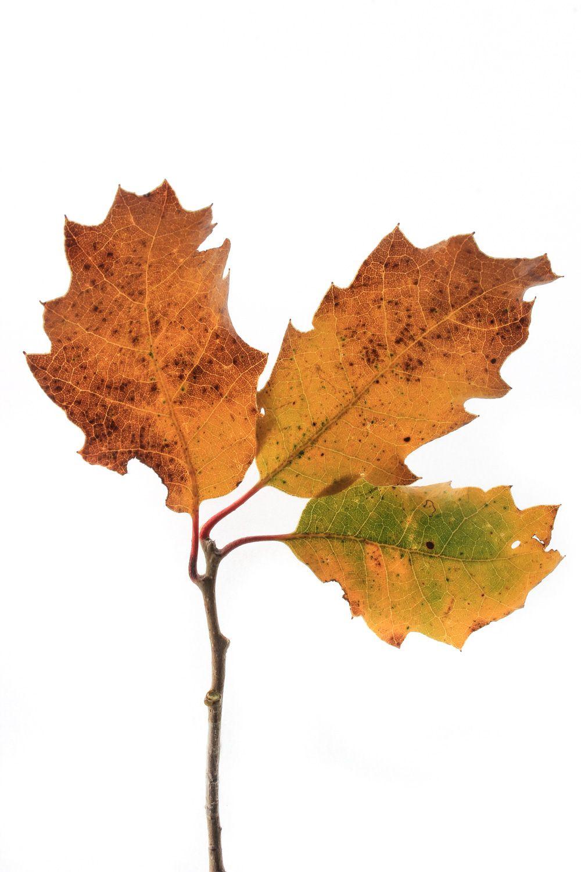 Marcescencia en oto o algunos rboles reabsorben los for Arboles que no pierden sus hojas en otono