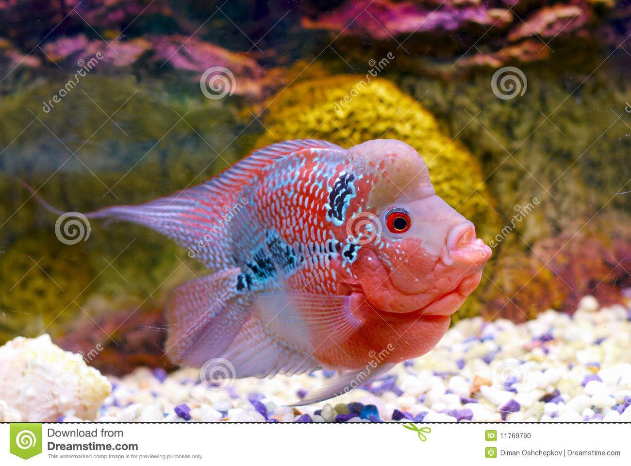Flowerhorn Cichlid fish stock photo. Image of deep, color