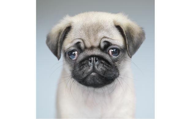Pug Pic It S A Pug Life Animal Photography Dog Photography Dogs
