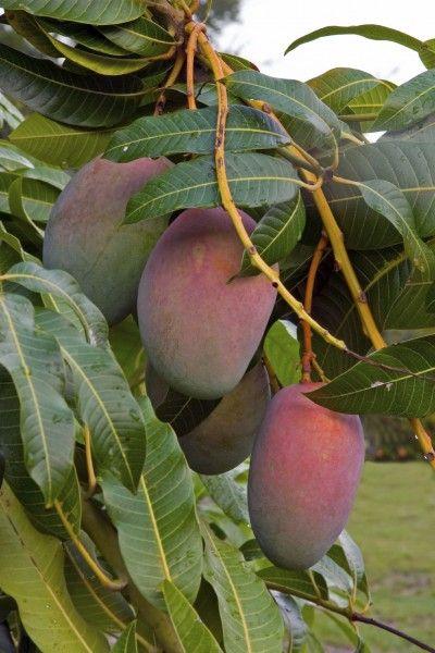 die besten 25 mango baum ideen auf pinterest wachsenden pflanzen terrassenobstb ume und. Black Bedroom Furniture Sets. Home Design Ideas