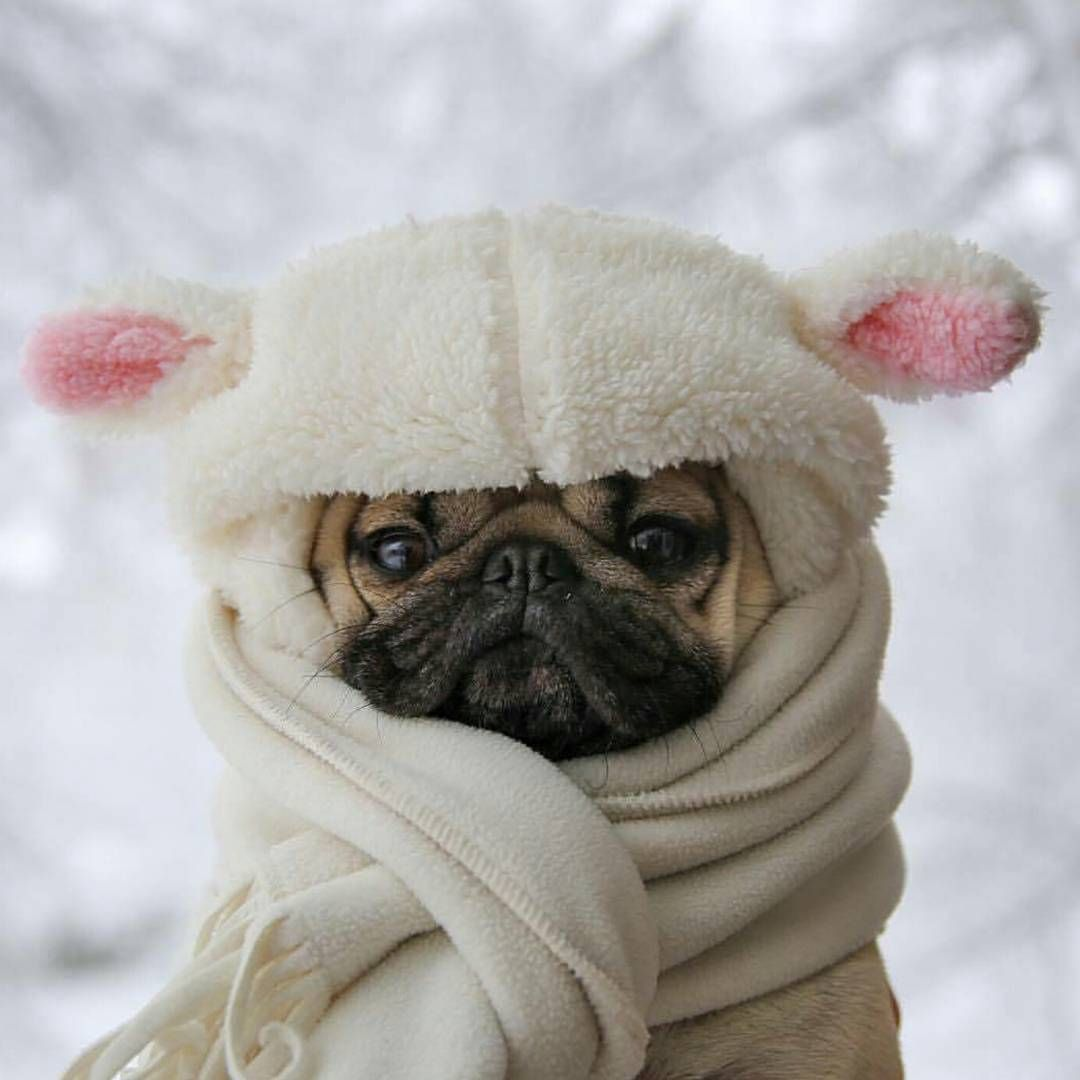 Its This A Pug Or Lamb Puglifemillionaire Cute Animals