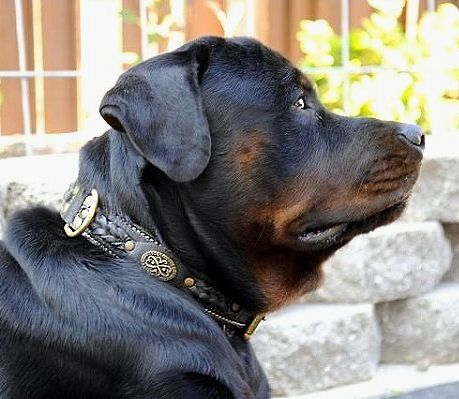Best Padded Hand Made Leather Dog Collar For Rottweilers
