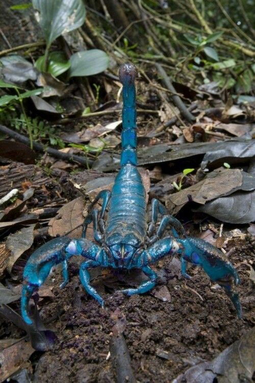 """""""Blue Emperor Scorpion"""". One Of The Largest Scorpions In"""