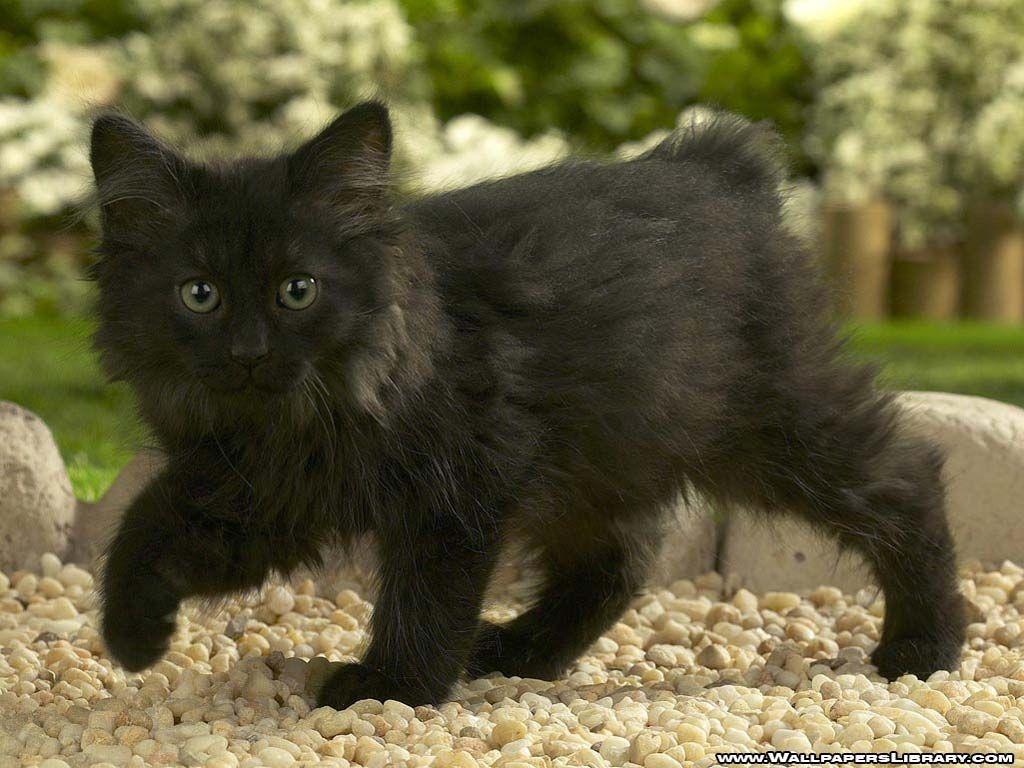 Black Baby Cat Wallpaper Manx kittens, Norwegian forest