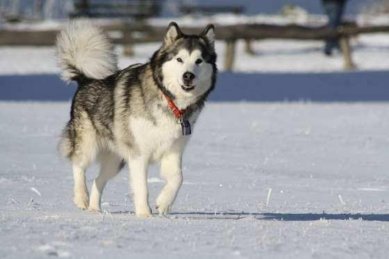 The 30 Dog Breeds That Shed The Most Alaskan Dog Alaskan