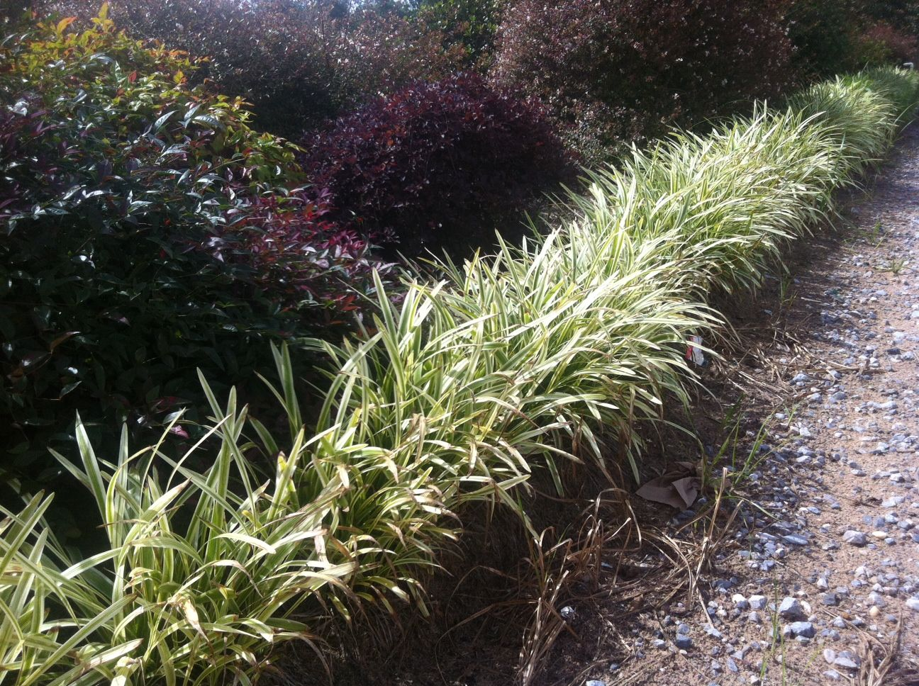 Use variegated liriope to create this great border look for Grasses for garden borders