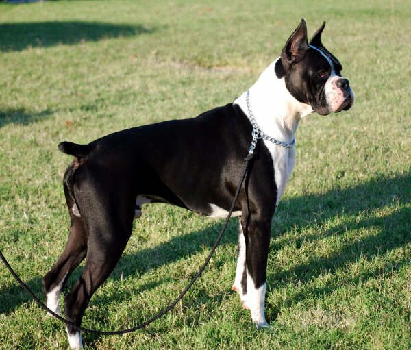 White and black boxer dog - photo#21