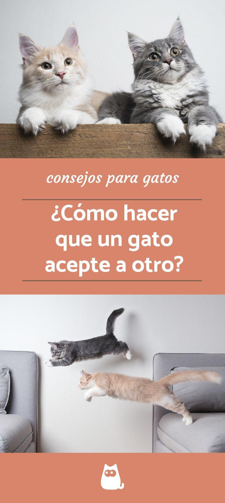 Cómo Hacer Que Un Gato Acepte A Otro Paso A Paso Fácil Gatos Perros En Adopcion Casita Para Gatos