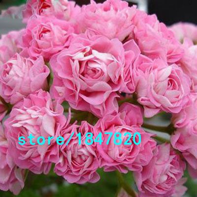 Hot-Sale-9-Colors-font-b-Gloxinia-b-font-Seeds-Perennial-Flowering-Plants-font-b-Sinningia.jpg (400×400)