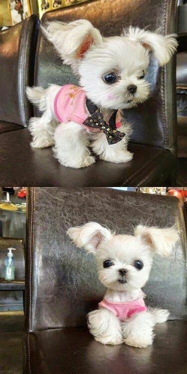 Squishy S Haircut Cute Teacup Puppies Cute Animal Photos Cute Animals