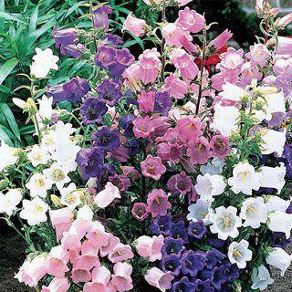 Canterbury Bells Bulb Flowers Plants Beautiful Flowers