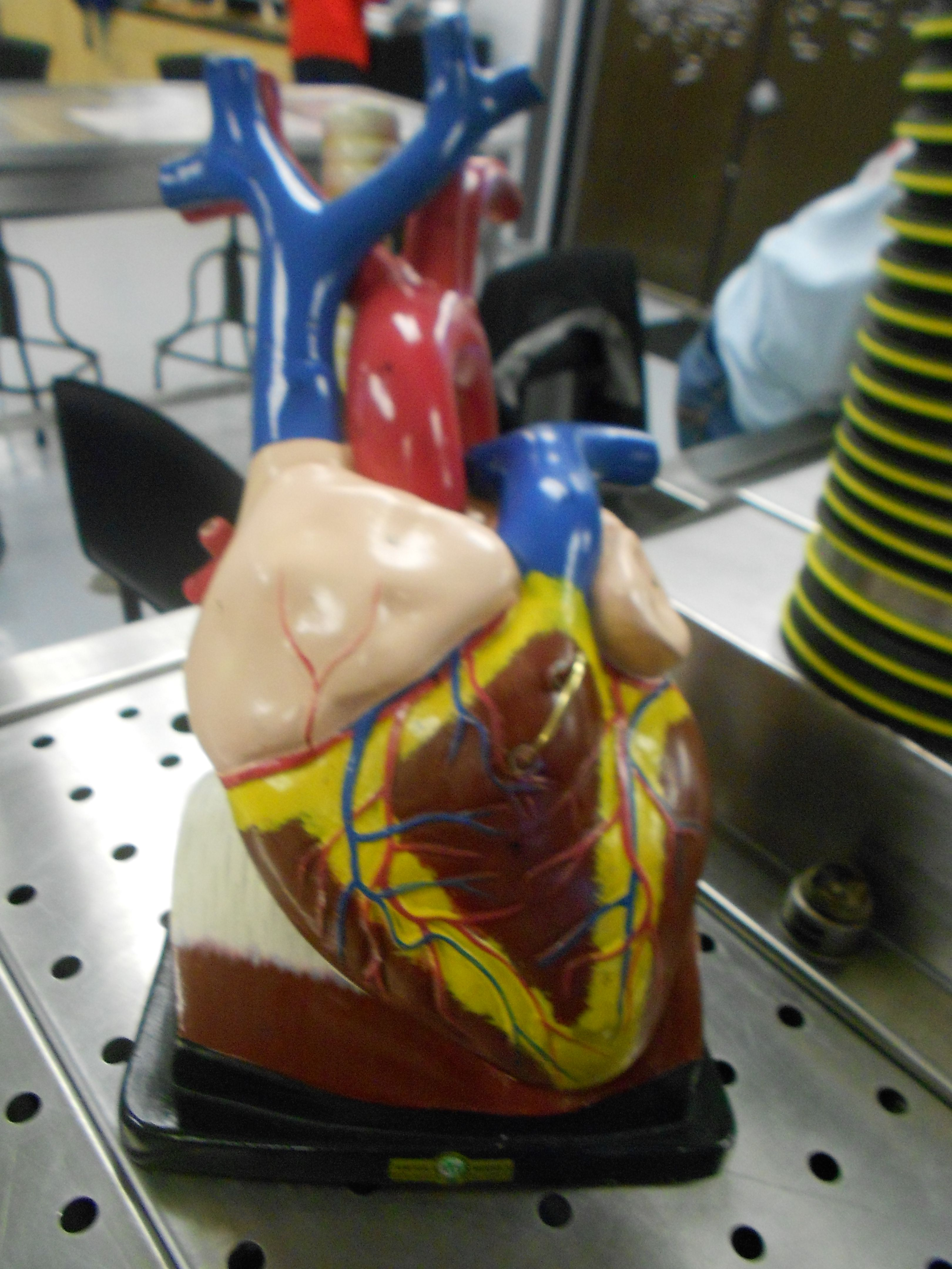 Heart model | Anatomy and physiology lab pics | Pinterest | Labs