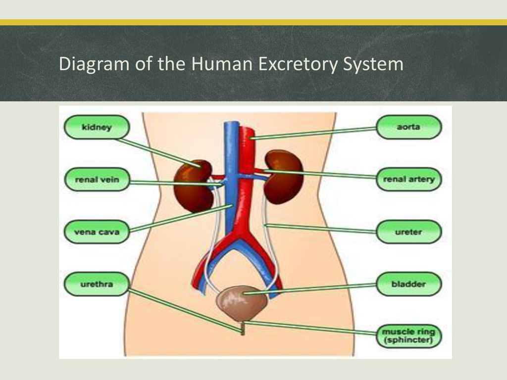 Excretory System Diagram Human Anatomy Drawing Diagram Human