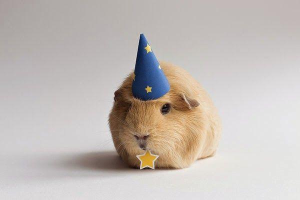 http://flipperdeflap.blogspot.com/2014/07/photogenic-guinea-pig-from-netherlands.html