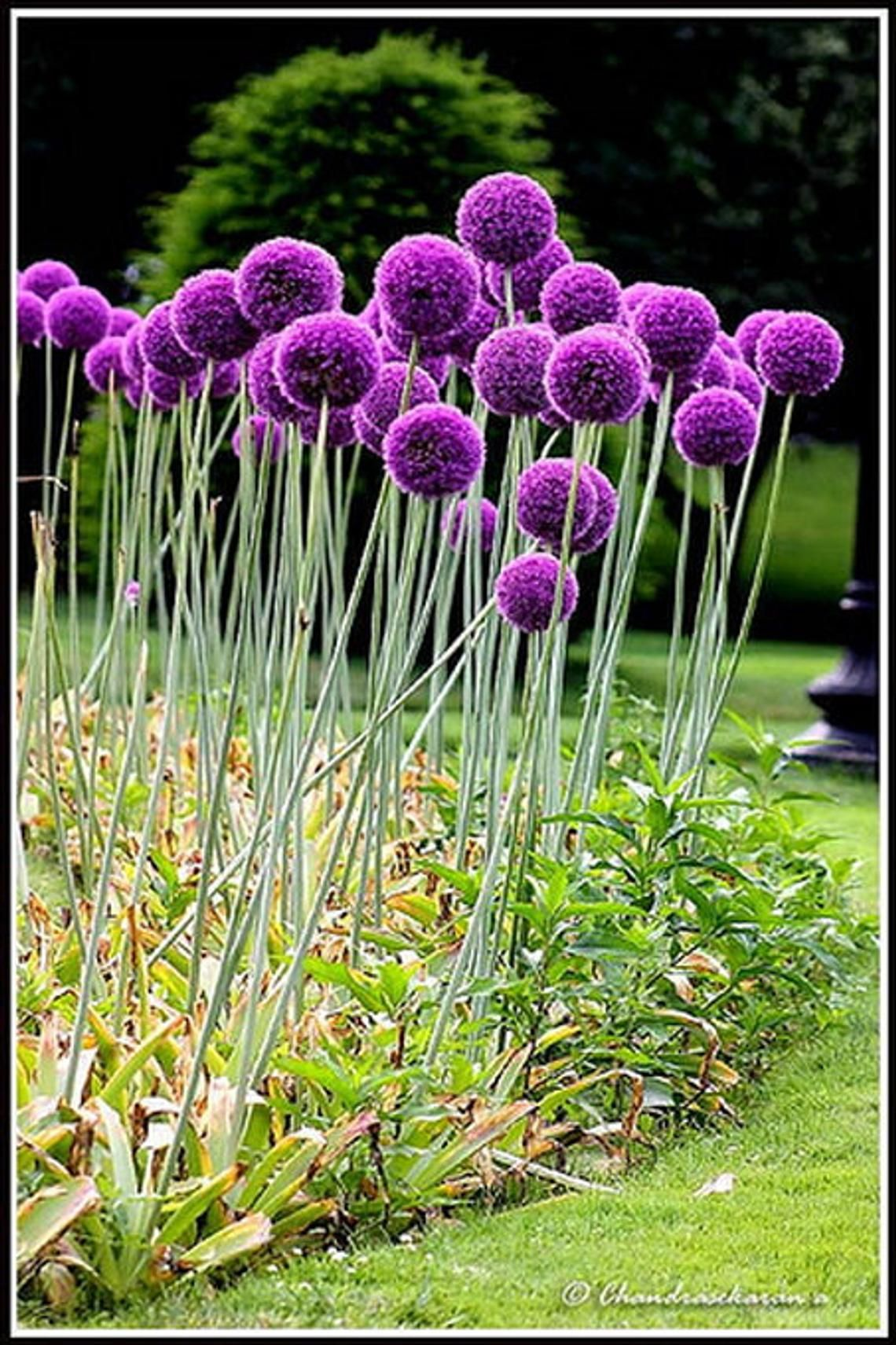 Giant Allium Globemaster 25 Seeds Etsy Allium Flowers Trees To Plant Flowers Perennials