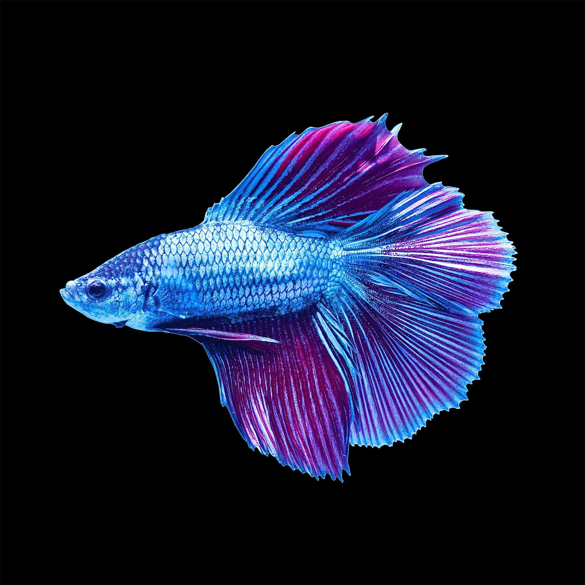 Male halfmoon doubletail betta siamese fighting fish for Betta fish names male blue