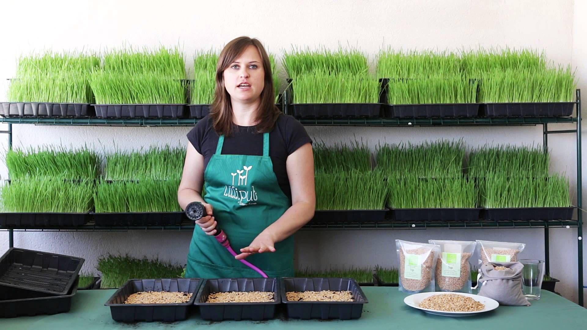 Como Sembrar Pasto De Trigo En Casa