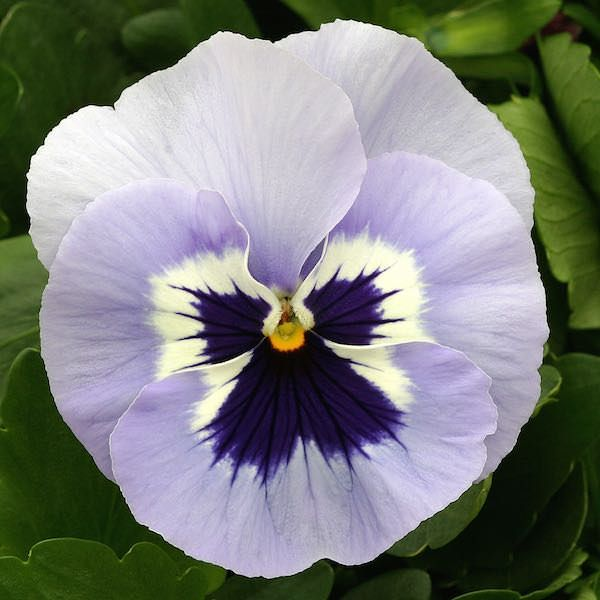 Pansy Heat Elite Porcelain Blue Shades Blossom Annual Flower Seeds Pansies Flowers Annual Flowers Pansies