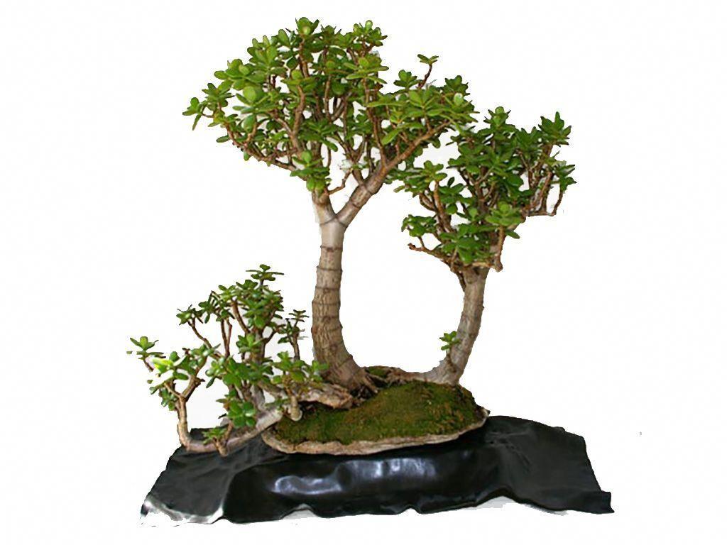 Jade Bonsai Tree  Indoorbonsaitrees