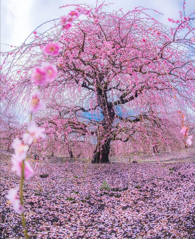 7 540 Me Gusta 46 Comentarios Tsunagu Japan Tsunagujapan En Instagram After The Full Bloom Fallen C Scenery Photos Cherry Blossom Cherry Blossom Petals