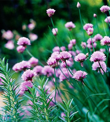 Edible Landscaping (chives and rosemary)