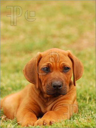 Rhodesian Ridgeback Puppy Stock Image I2671925 Hound Dog Puppies Rhodesian Ridgeback Puppies Puppies