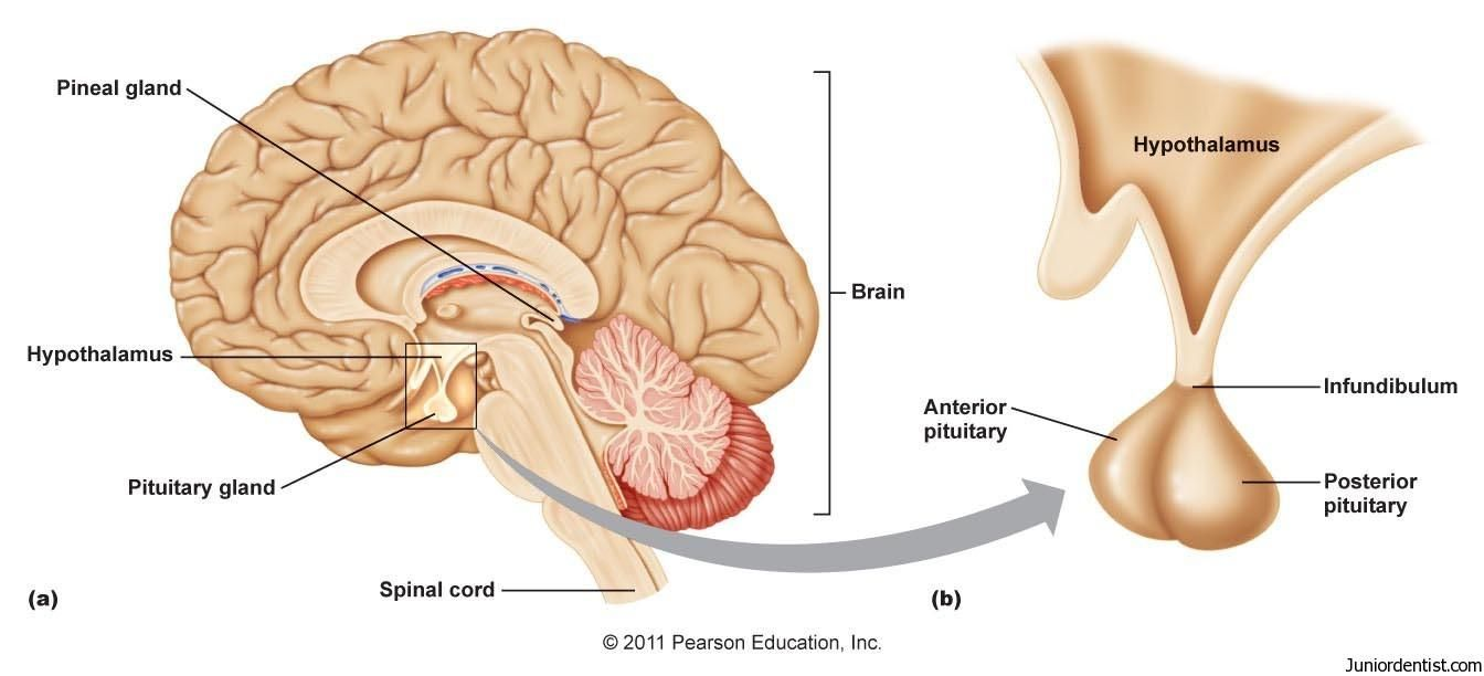 Pin By Jessica Hicks On Anatomy Endocrine System Pituitary Gland