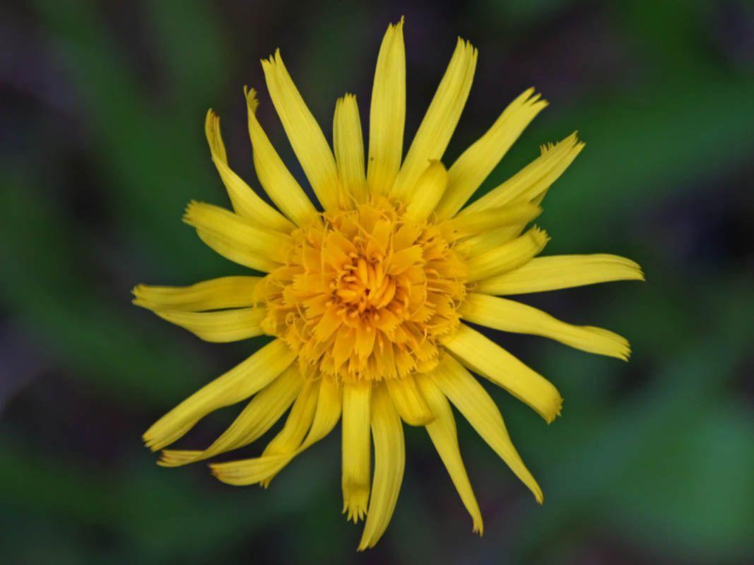 Griseblad, Scorzonera humilis - Blomster - NatureGate