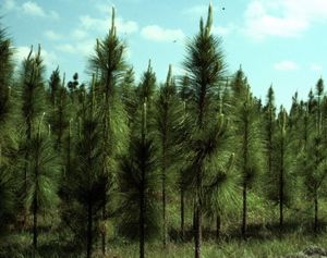 alabama s state tree is the southern longleaf pine this evergreen