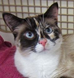 Paint Is An Adoptable Snowshoe Cat In Seattle Wa Important Note You Won T Find This Cat At The Shelter You Can Meet Them S Pretty Cats Snowshoe Cat Cats
