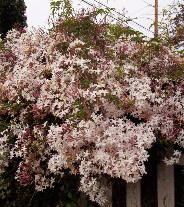 March in Altadena, when the night blooming Jasmine flowers